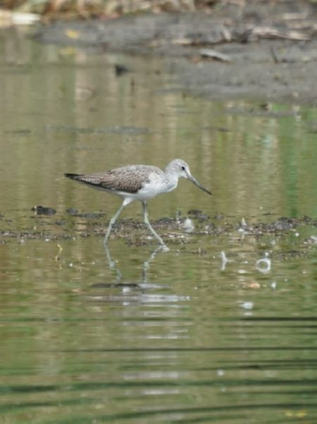 Common Greenshank  - Regula Ticar
