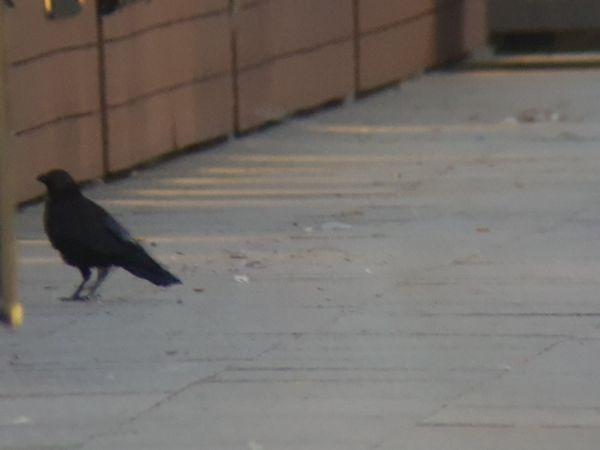 Carrion Crow  - Tomasz Świątek