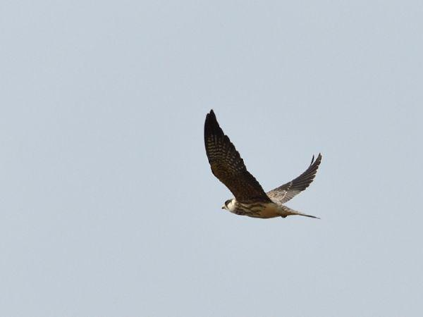 Red-footed Falcon  - Michał Piotrowski