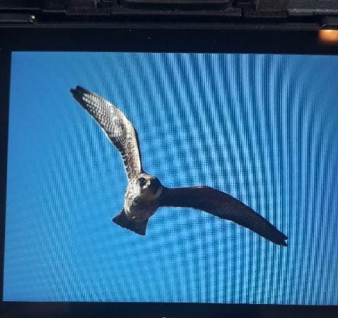 Red-footed Falcon  - Krzysztof Haja