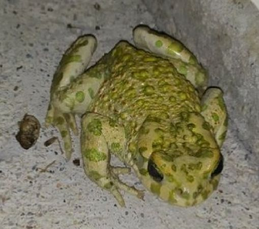 Green Toad (all species)
