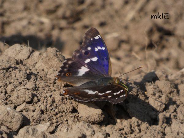 Lesser Purple Emperor  - Mikel Etxegarai