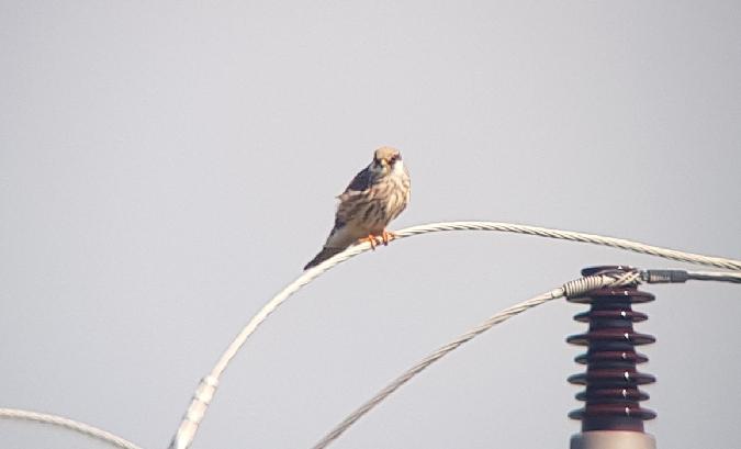 Red-footed Falcon  - Łukasz Janocha