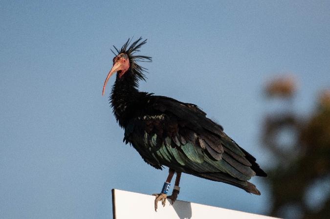 Ibis chauve  - Corentin Tourrette
