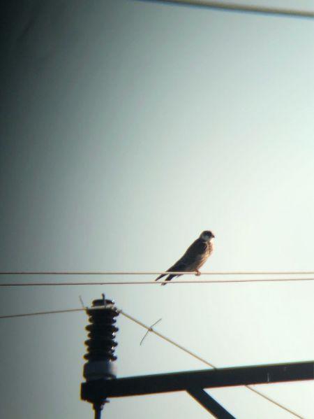 Red-footed Falcon  - Bartosz Szymański