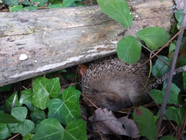 West European Hedgehog  - Andreu Duclau