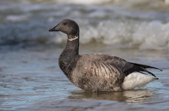 Brant Goose  - Czarek Baier