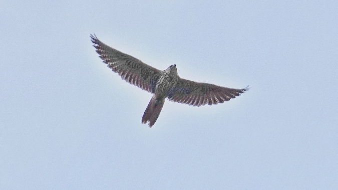 Saker Falcon  - Pierre Loria