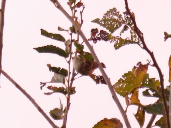 Yellow-browed Warbler  - Jana Marco