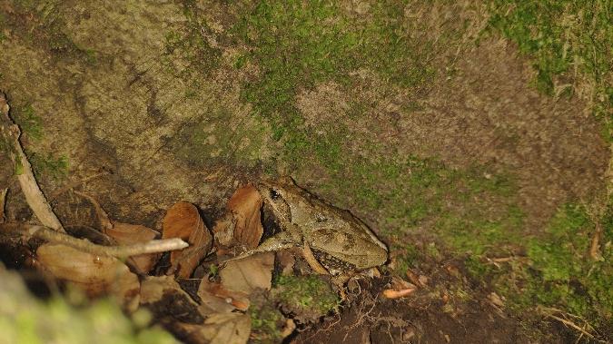 Italian Stream Frog  - Luca Simoncini