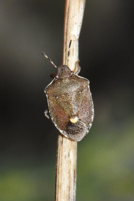 Holcostethus albipes  - Shamgar Brook