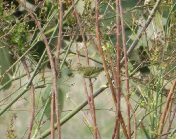 Yellow-browed Warbler  - Gabriele Zamo'