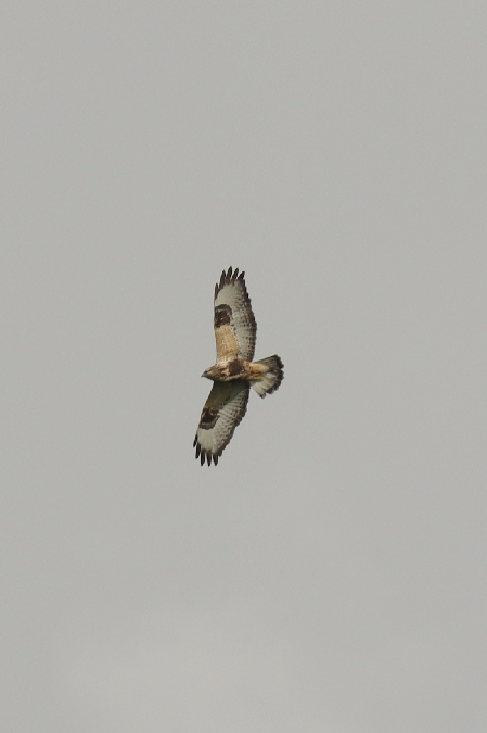 Rough-legged Buzzard  - Till Gütte