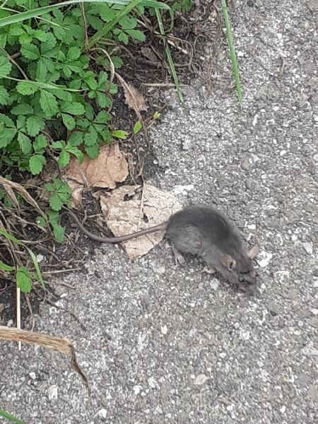 Brown Rat  - Emanuele Crepet