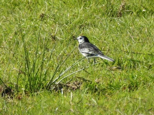 Pied Wagtail  - Alexandre Hurtault