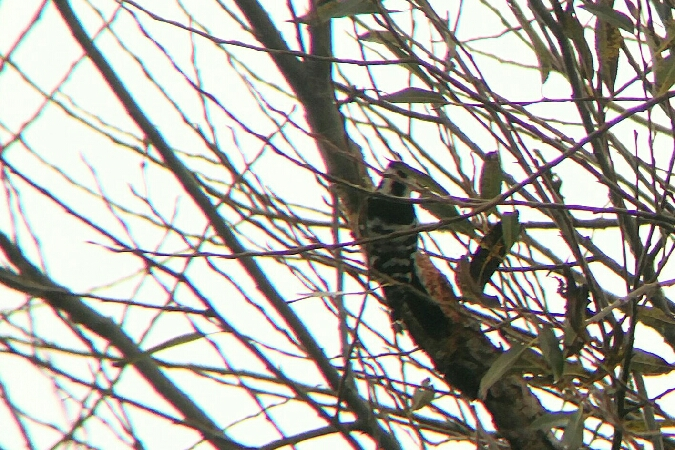 Lesser Spotted Woodpecker  - Nils Wendel