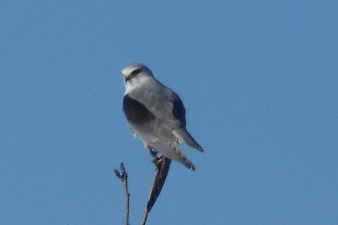 Black-winged Kite  - Carlos Monzon