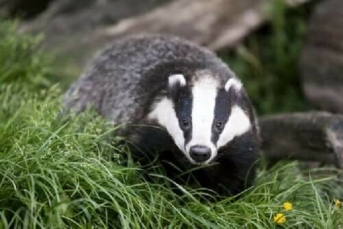 Eurasian Badger  - Anonymous