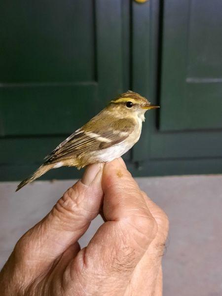 Yellow-browed Warbler  - Bassano Riboni