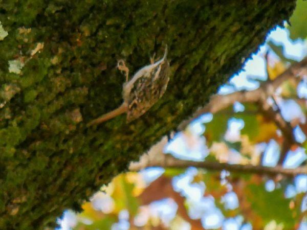 Grimpereau des bois  - Alexandre Fourel