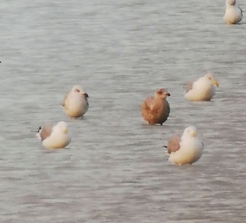 European Herring Gull  - Filip Reiter
