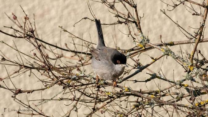 Sardinian Warbler  - Pierre Loria