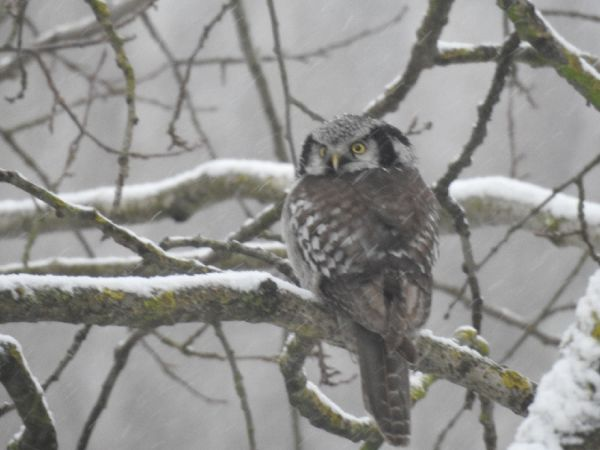 Northern Hawk-Owl  - Szymon Sendera