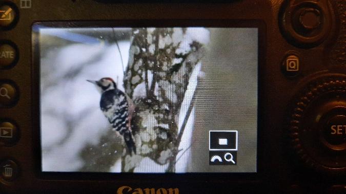 White-backed Woodpecker  - Tomasz Wilk