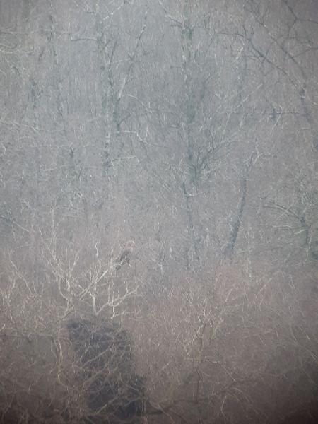Pygargue à queue blanche  - Celo Rachel