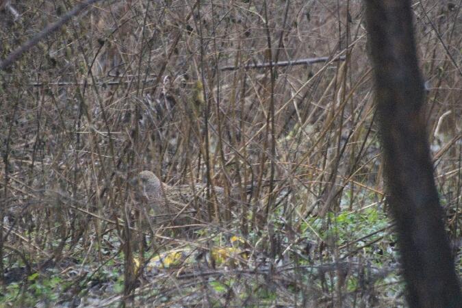 Common Pheasant  - Adam Olszewski
