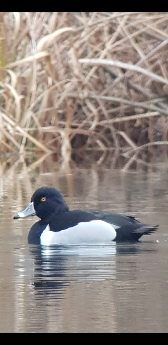 Ring-necked Duck  - Manfred Bögershausen