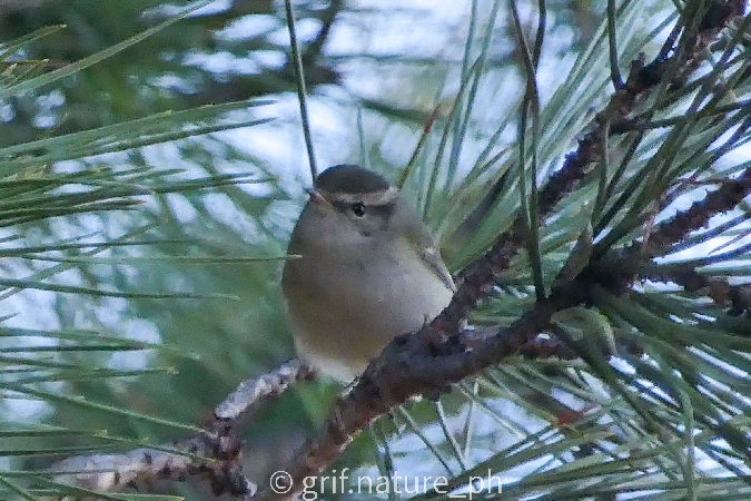 Yellow-browed Warbler  - Giacomo Guidotti
