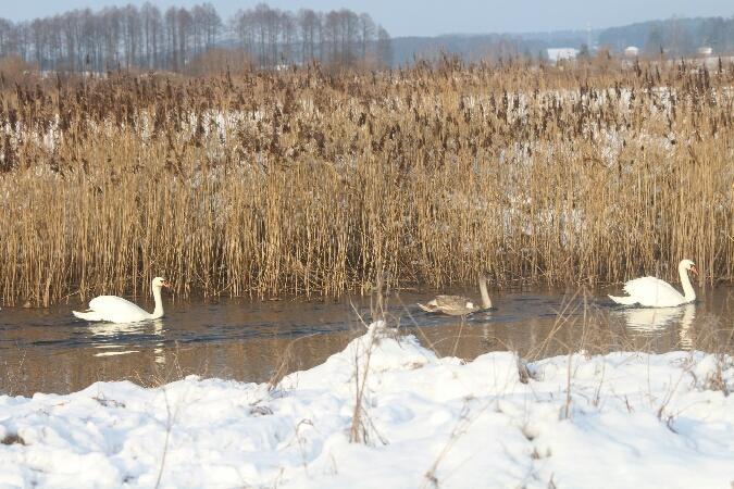 Mute Swan  - Adam Olszewski