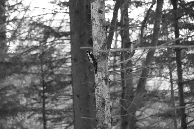Eurasian Three-toed Woodpecker  - Konrad Sobolak
