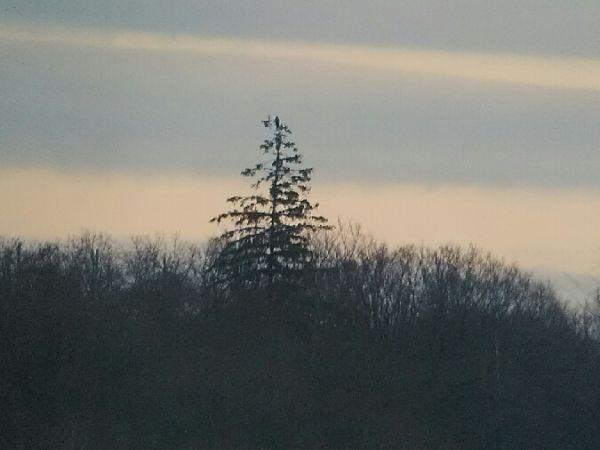 Pygargue à queue blanche  - Romain Riols