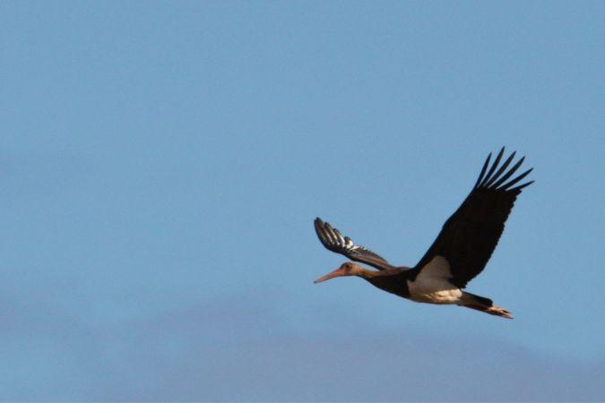 Cigogne noire  - Maxime Hucbourg