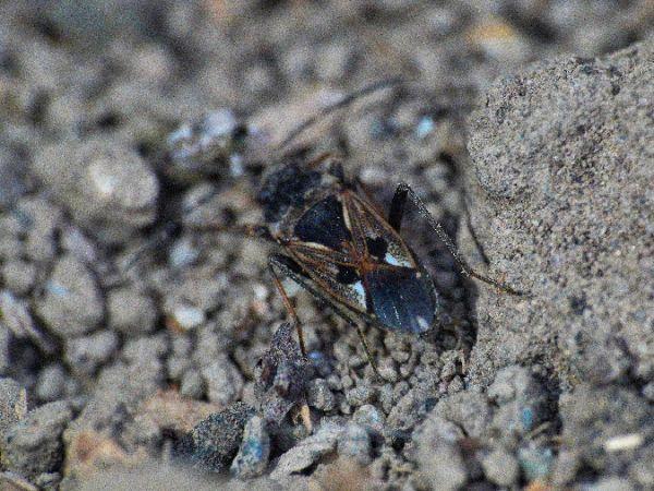 Rhyparochromus vulgaris  - Pierre Loria