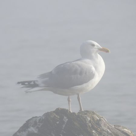 European Herring Gull  - Rolf Reber