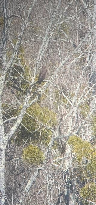 Greater Spotted Eagle  - Arnaud Da Silva