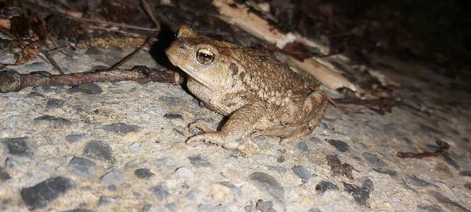 Common Toad (B. spinosus)  - Aner Vizcaino