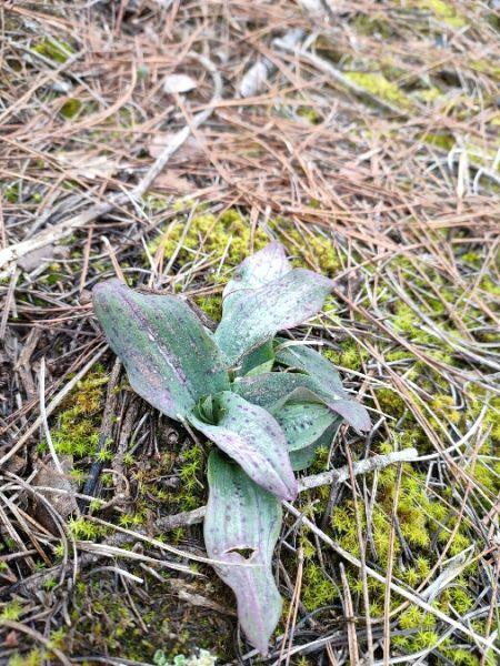 Neotinea maculata  - Isabel Casas Navarrete