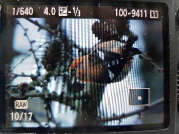 Two-barred Crossbill  - Marcin Charymski