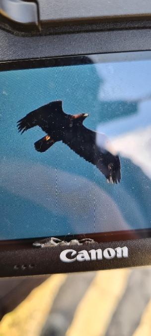 Golden Eagle  - Sebastian Watras