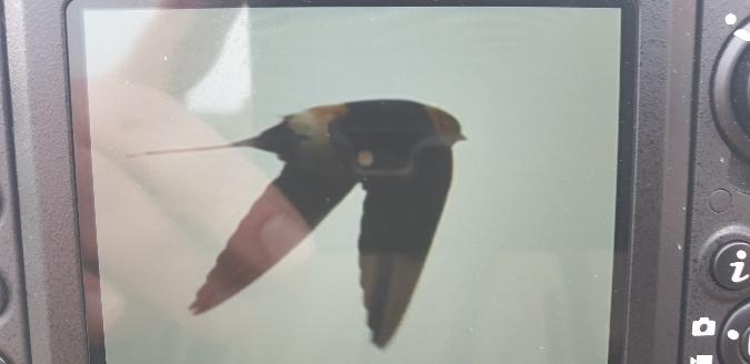 Red-rumped Swallow  - Marcin Borowik