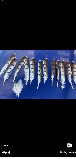 Short-toed Snake Eagle  - Mateusz Pawelec