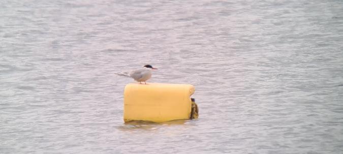 Common Tern  - Sebastian Watras