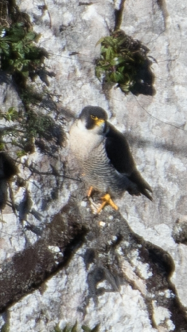 Peregrine Falcon  - Gorka Valdés Etxeberria