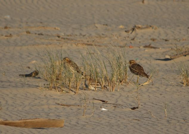 Eurasian Stone-curlew  - Paul Capbern