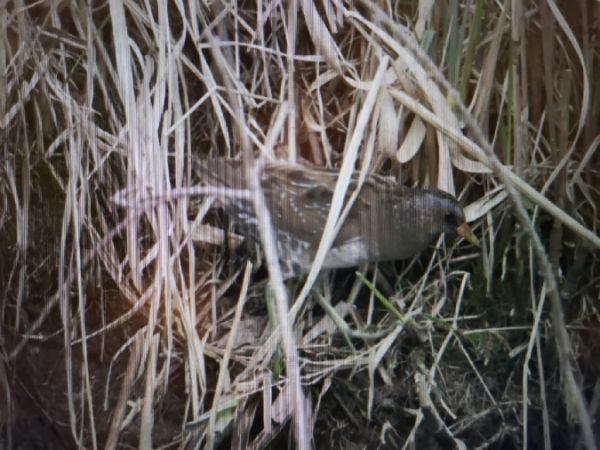 Spotted Crake  - Christine Neudecker