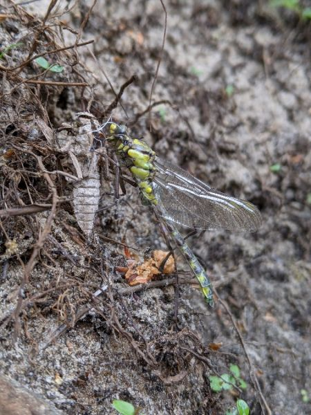 Common Clubtail  - Coup Charles